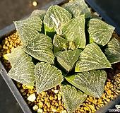 하월시아 실생-325 (Haworthia seedling)|haworthia