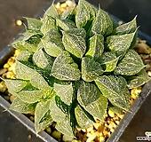 하월시아 실생-326 (Haworthia seedling)|haworthia