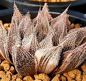 백운회권 금 자구 (Haworthia venusta hyb. variegated offset)|variegated