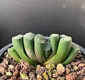 옥선-206(실생)|Haworthia truncata