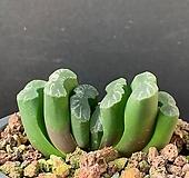 옥선-209(실생)|Haworthia truncata