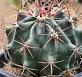 거취옥선인장 111-1206|Haworthia truncata