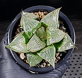 이반야(대묘) 99-12|Haworthia cv. Urahanya
