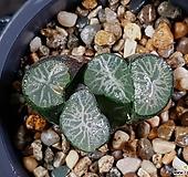 비취룡만상 99-21|Haworthia maughanii