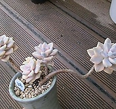 살구미인금 3038|Graptoveria Titubans