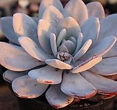 굳혀져서핑크빛으로물들고있는대품홍라우이 Echeveria laui