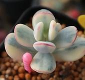방울복랑금(뿌리튼튼)9798|Cotyledon orbiculata cv variegated