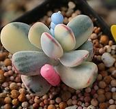 방울복랑금(뿌리튼튼)2479|Cotyledon orbiculata cv variegated