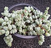 원종벽어연-231|Corpuscularia lehmanni