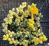벽어연금1201|Corpuscularia lehmanni
