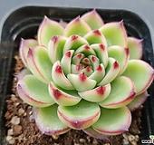 에케베리아문스톤7270|Pachyphytum Oviferum Moon Stone