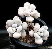 문스톤(자연군생) 25-232|Pachyphytum Oviferum Moon Stone