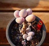 문스톤 681204|Pachyphytum Oviferum Moon Stone