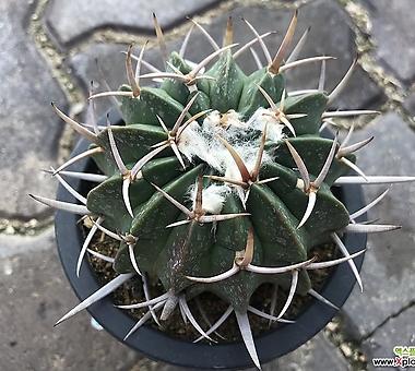 Jättis Kaktus